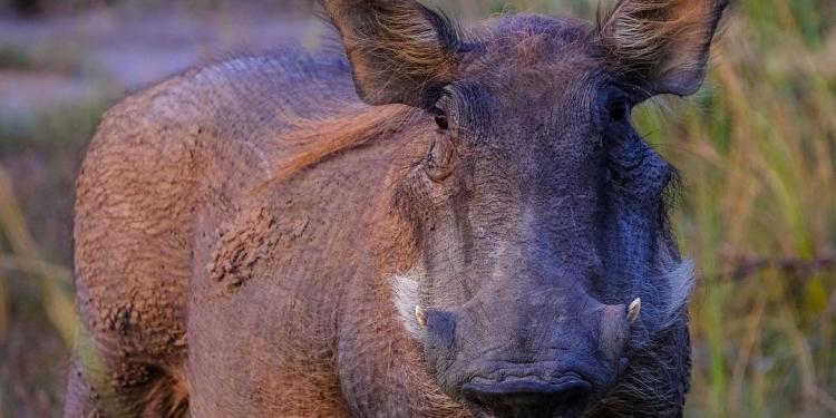 Ilustrasi babi ngepet. (Pexels.com/)